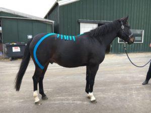paard wil niet ondertreden